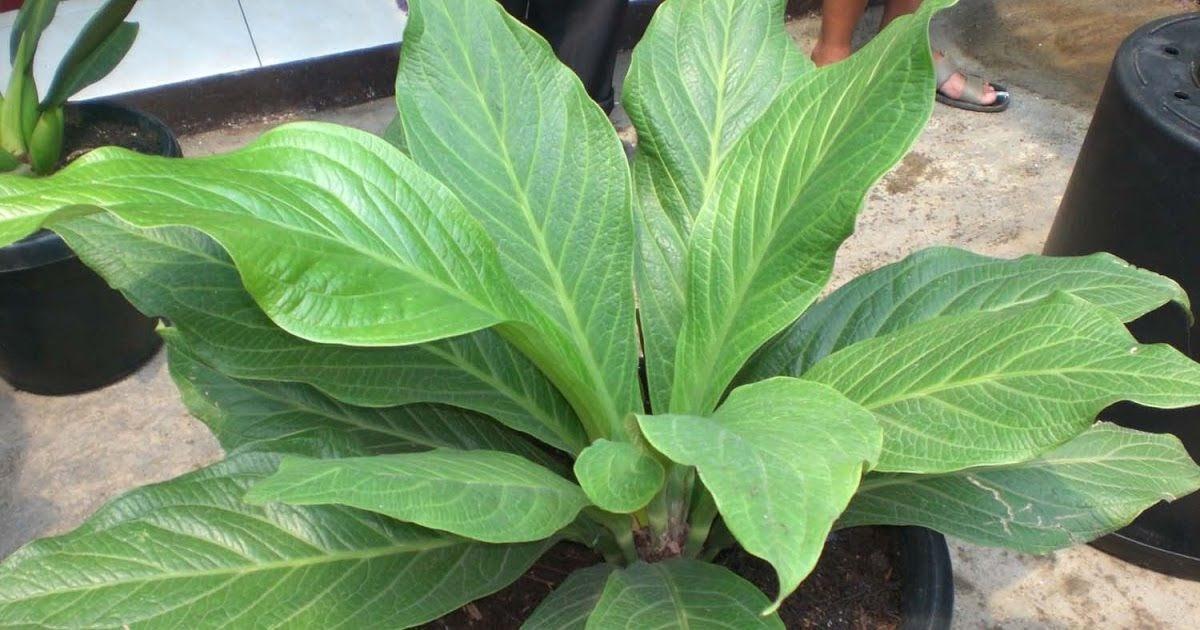 jenis tanaman anthurium jemani