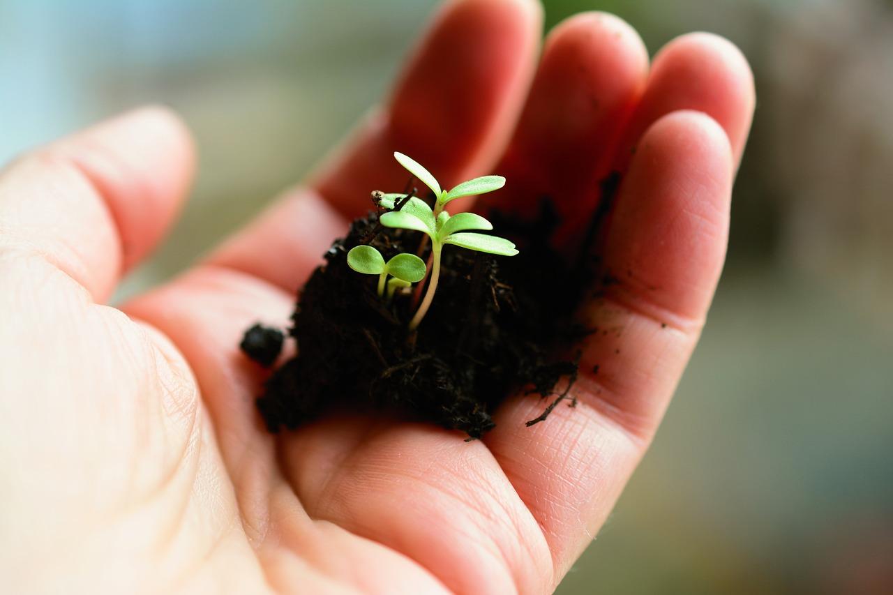 perangsang tunas tanaman alami