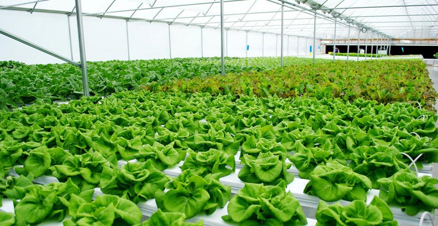 jenis jenis tanaman hidroponik dan cara penanamannya