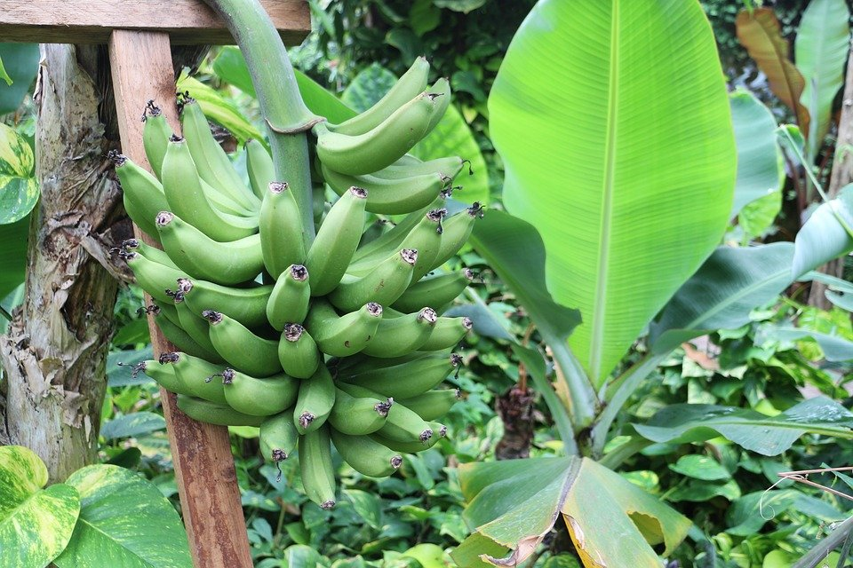 pemupukan tanaman pisang