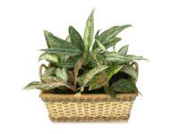 tanaman penyerap panas ruangan