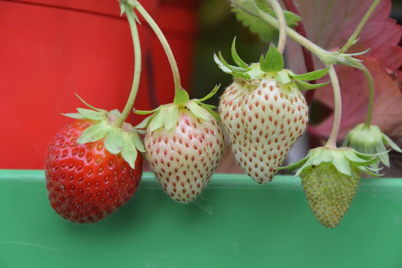 cara budidaya strawberry