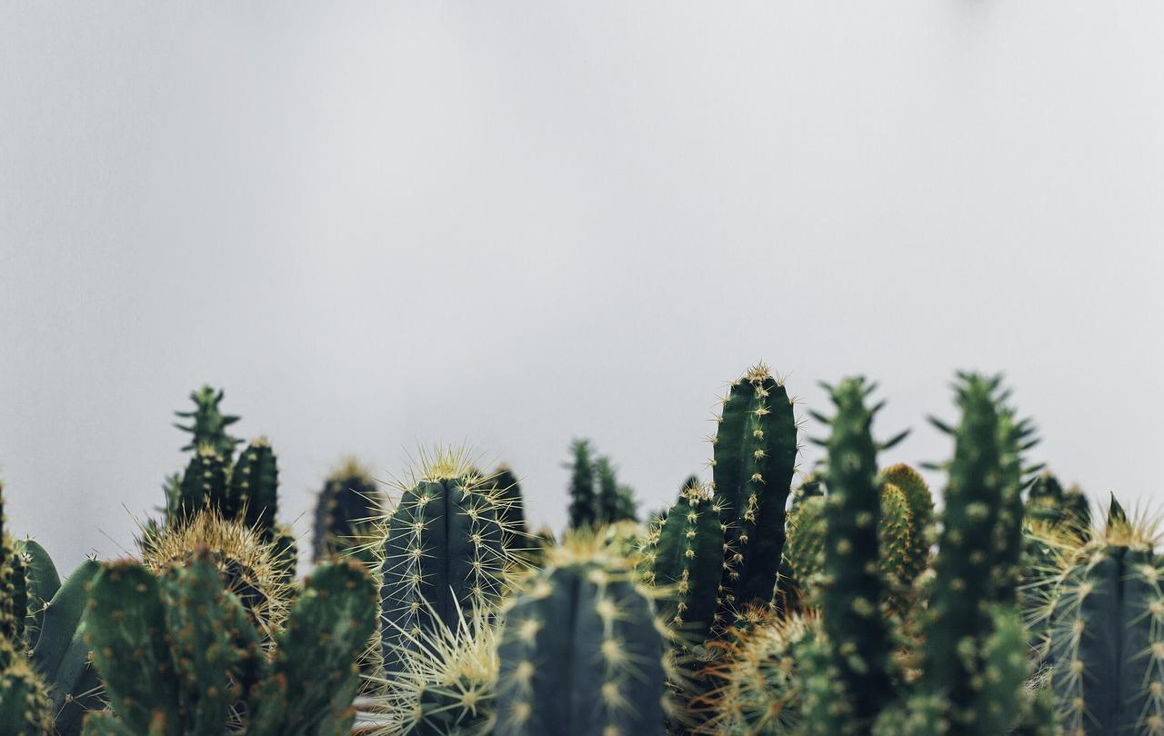 cara budidaya kaktus
