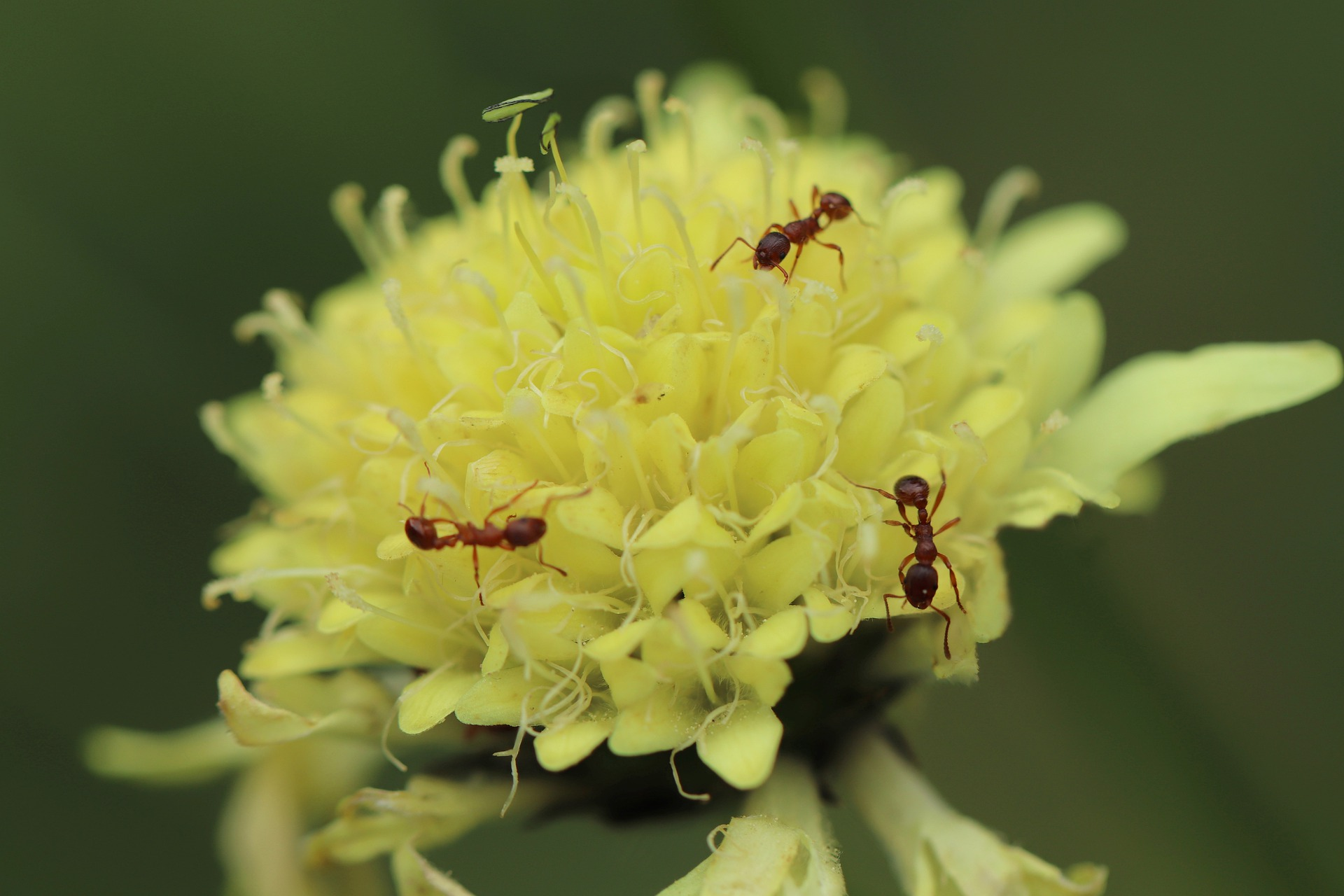 pestisida semut untuk tanaman