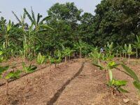 kebun pisang modern