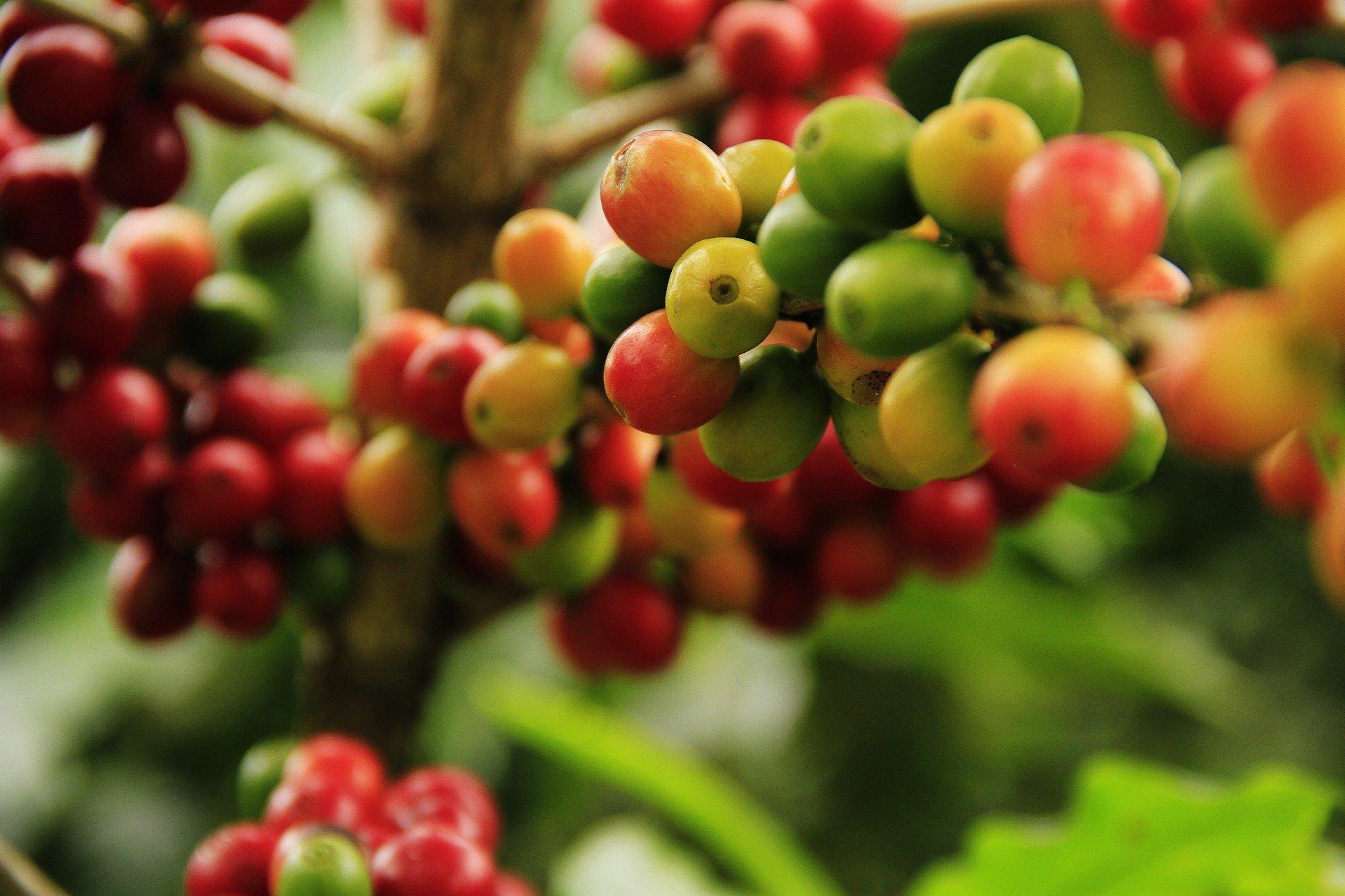 pemupukan tanaman kopi
